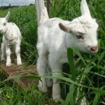 Maui-Surfing-Goat-Dairy